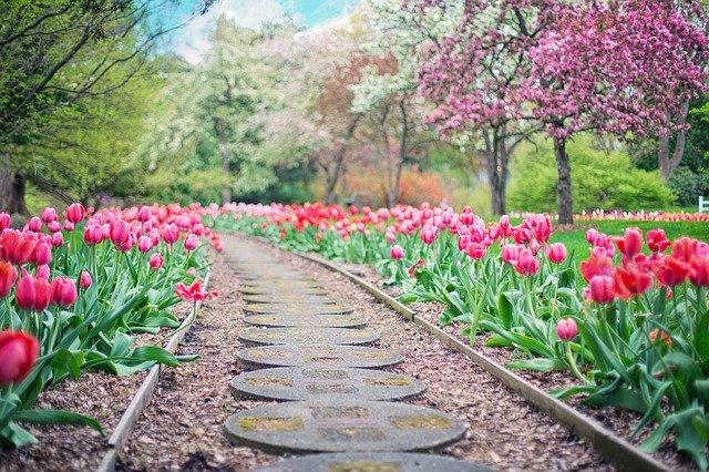 cesta mezi záhony tulipánů