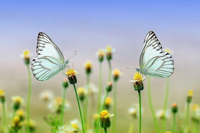 dva motýli na květinách