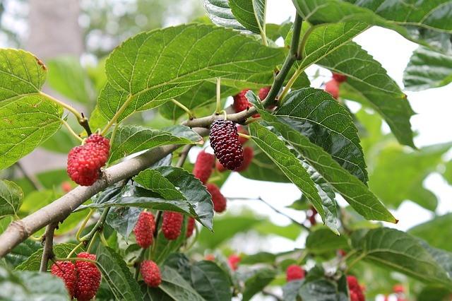 Moruše – zapomenuté ovoce pro vaše zdraví